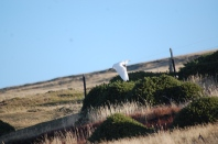 Cattle egrets: sadly they blow into the FI and can't escape or survive the Winter :(