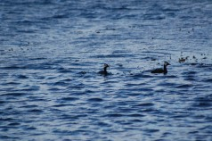 Silvery grebes, we think