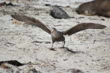 Sinker/Souther Giant Petrel