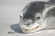 An unexpected treat, a leopard seal asleep on the beach