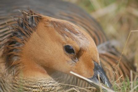 Upland Geese nesting