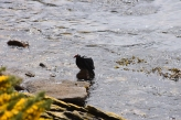 It turns out turkery vultures can swim - who knew?