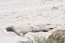 One lone elephant seal