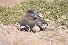 Falkland Skua on eggs