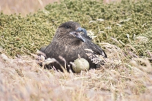 Falkland Skua on eggs