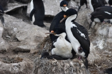 Imperial Cormorants with chick