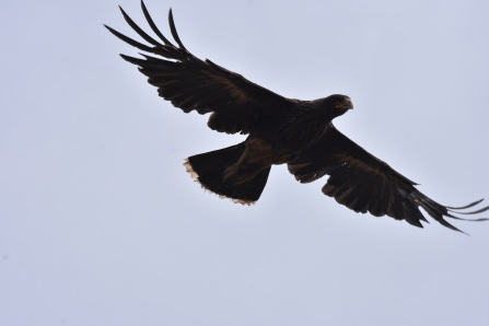 Striated caracara in flight