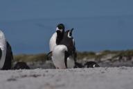 Optical illusion: how many penguins?