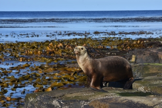 The cause: a female sea lion away from the colony