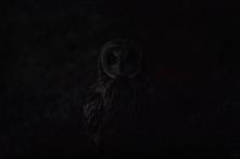Dark portrait, short-eared owl