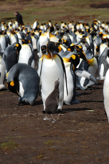 The King penguins are the main attraction
