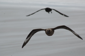 Skuas hassle them for food