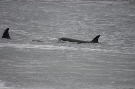 A final highlight, an orca pod