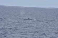 Sei whales on the crossing