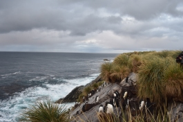 The Rockhopper colony