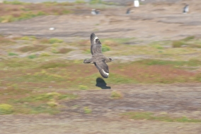 Skuas also take advantage of the breeding season