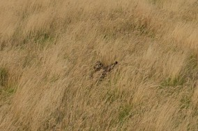 Short-eared owl, spotted in daylight by nearly tripping over it