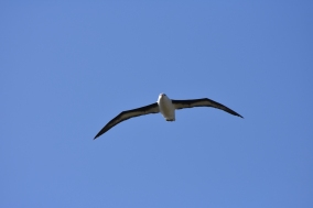 A random albatross decided to fly overhead